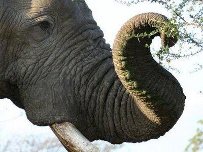 Hasil gambar untuk elephants trunk